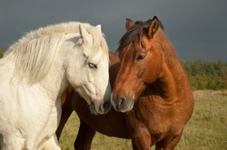 A pair of horses showing affection