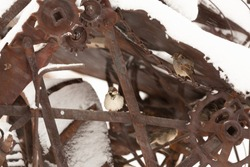 A pair of house sparrows take shelter from the blowing wind and snow inside a piece of old rusting farm machinery.