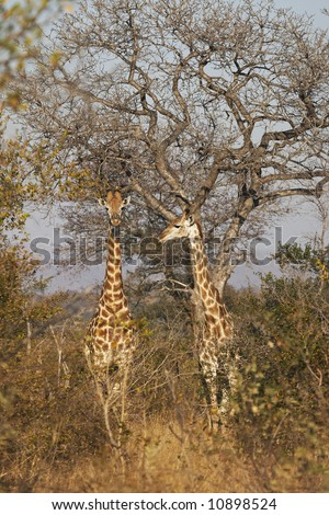 A pair of juvenile giraffes stand alert in under a spreading thorn tree in typical thorny bushveld in the late afternoon sunshine.