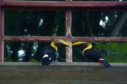 A pair of keel-billed toucan bird perch at the window of a house in Manuel Antonio, Costa Rica.