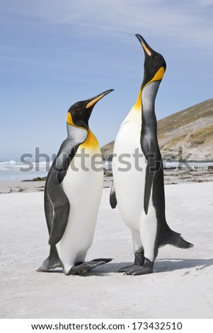 A pair of King penguin courtship display on a south atlantic beach #173432510