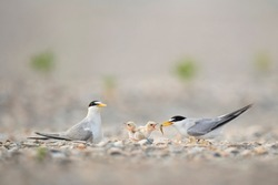 A pair of Least Tern adults feed there tiny and cute baby chicks a small minnow on a sandy beach in soft light.