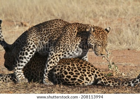 A pair of Leopards on the African plains. Child mounting it\'s mother