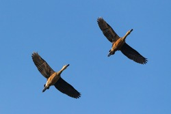 A pair of lesser whistling ducks flies in the blue sky. It also known as Indian whistling duck or lesser whistling teal. Scientific name is dendrocygna javanica.