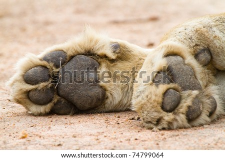 A pair of lion paws #74799064