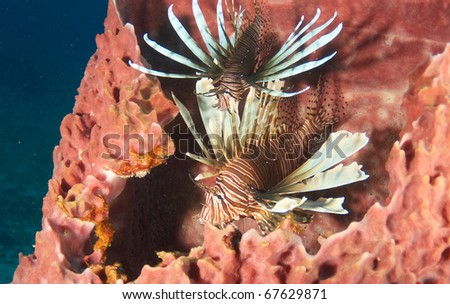 A pair of Lionfish inhabiting the inside of a barrel sponge on a reef in Boca Raton, Florida.