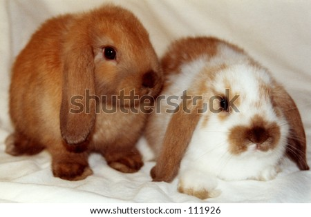 stock photo : A pair of Lop eared rabbits