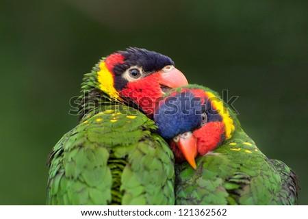 A pair of lorikeets seemingly in love