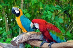 A pair of Macaws roosting side by side in a Southeast Florida aviary.