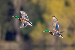 A pair of male mallard ducks taking off from the water in the city of Berlin.
