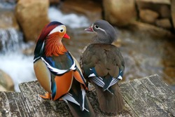 A pair of mandarin duck(Aix galericulata) stands on the platform look each other March 16th 2018. The two heads make heart sharp. it is is a perching duck species native to East Asia