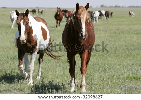 A pair of mares leads the rest of the herd on wide-open land in the American west (focus point on foreground horses).