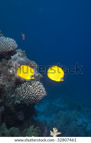 A Pair of Masked butterflyfish (chaetodon semilarvatus) over a coral reef. Red Sea, Egypt.