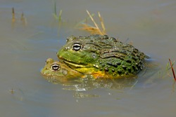 A pair of mating African giant bullfrogs (Pyxicephalus adspersus) in shallow water, South Africa