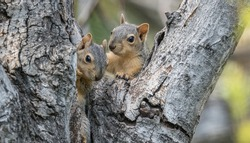 A pair of mating squirrels emerge from their nest in a hollowed out tree and look at camera.