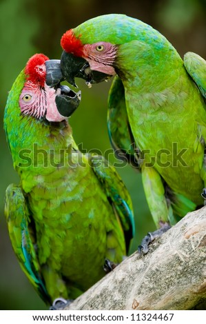 a pair of military macaws playing together