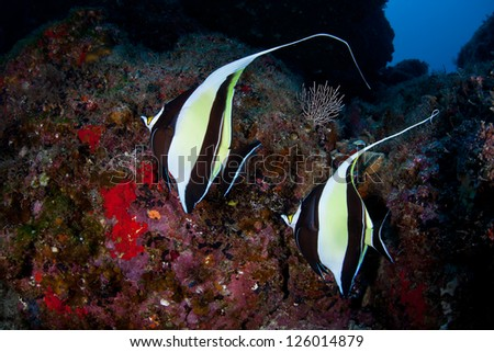 A pair of Moorish Idols (Zanclus cornuta) swim around a rocky reef off Cocos Island, Costa Rica.  This area is known for its sharks so smaller reef fish often disappear as prey.