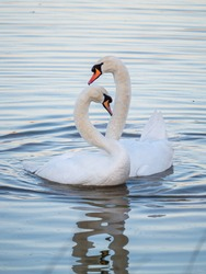 A pair of mute swans (Cygnus olor) on a lake in London, England.