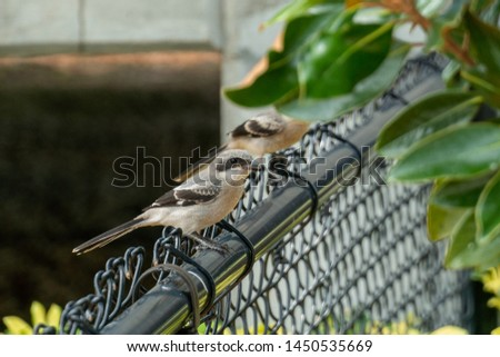 A pair of Northern Mockingbirds (Mimus polyglottos) perch on a fence. Northern Mockingbirds are the state bird of Florida.