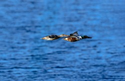 A pair of Northern Shoveler ducks flying over a deep blue body of water.