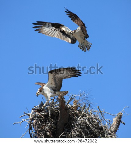 A pair of Osprey Flying to Their Nest