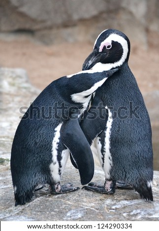 A pair of penguins preening each other.
