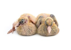 A pair of pigeon chicks close up look with selective focus on isolated white background