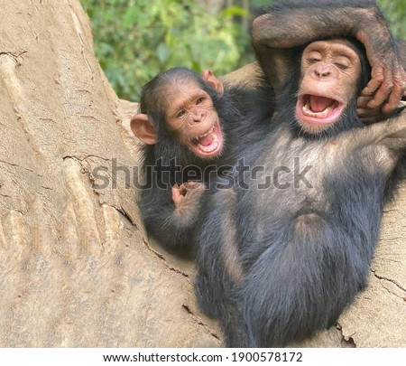 A pair of primates cheerful chimpanzees sitting on a large tree trunk are laughing very fervently Photo stock ©