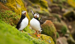 a pair of puffins sitting on a cliff together, great saltee island, ireland, europe
