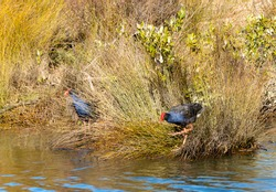 A pair of Pukeko or swamp hen with its red bill foraging in reeds on water edge
