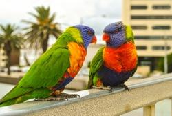 a pair of Rainbow lorikeet