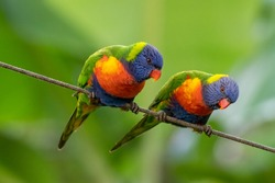 A  pair of rainbow lorikeets looking down. Clean green background