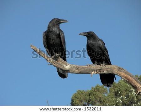 A pair of Ravens along the Utah roadside