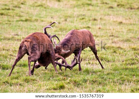 A pair of red deer stags fight after testing each other out and conflict is the only way to establish dominance. #1535767319