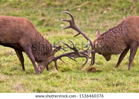 a pair of red deer stags fight after testing each other out and conflict is the only way to establish dominance. #1536460376