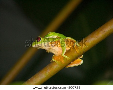 A pair of red-eyed tree frogs from Costa Rica