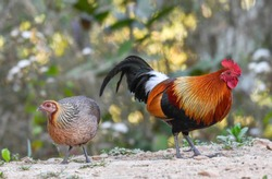 A pair of Red jungle fowl found during safari in the forest, very rare picture of jungle fowl pair in one frame