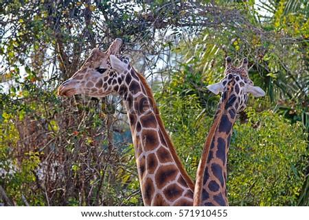 A Pair of Reticulated Giraffes (Giraffa Reticulata), Also Known as the Somali Giraffe