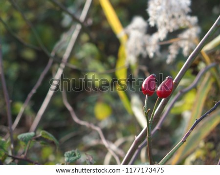 a pair of rosehips #1177173475