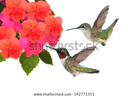 A pair of Ruby-throated Hummingbirds (Archilochus colubris) at impatiens flowers isolated on a white background.