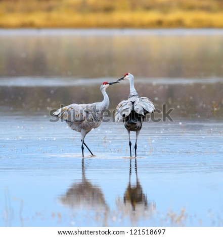 A Pair of Sandhill Cranes at Bosque del Apache National Wildlife Reserve in New Mexico USA.