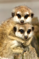A pair of Slender-tailed Meerkats cuddle as they both keep a watchful eye on their surroundings.