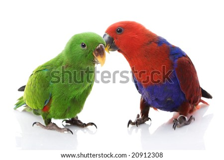 a pair of Solomon Island Eclectus Parrots ( Eclectus roratus solomonensis) on white background.