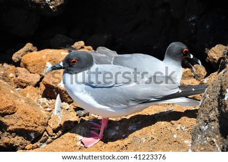 A pair of Swallow tailed Gull Galapagos Islands