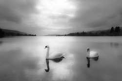 A pair of swans on the calm waters of lake Conistone