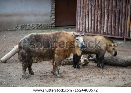 A pair of Takin animals, Budorcas taxicolor tibetana, stand in the zoo's enclosure. Wildlife, mammals, fauna.