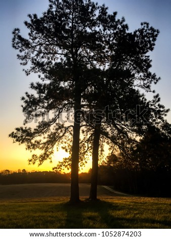 A pair of tall loblolly pine trees silhouetted by the beautiful golden sunrise on a clear morning in the country in North Carolina. Wake County. #1052874203