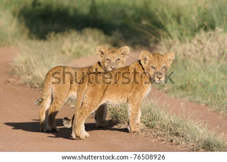 A pair of tiny lion cubs in the road