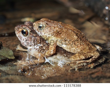 A pair of toad mating in the wild