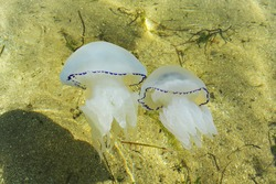 A pair of translucent white jellyfish move in the salt water column. Tentacles are located along the edges of the jellyfish body.